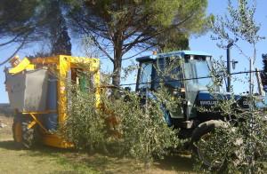 olivicoltura meccanizzata intensiva - Raccolta meccanizzata olive