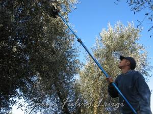 olivicoltura raccolta olive